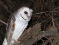 Owl_Eastern_Barn_2017-02-11