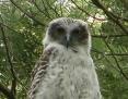 Owl_Powerful_2008-10-31