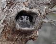 Owlet-nightjar_Australian_2009-12-12