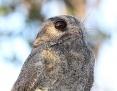Owlet-nightjar_Australian_2014-10-11