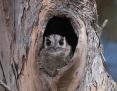 Owlet-nightjar_Australian_2017-01-04
