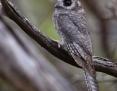 Owlet-nightjar_Australian_2017-01-08