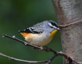 Pardalote_Spotted_2015-11-06