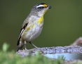 Pardalote_Striated_2012-12-28