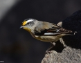 Pardalote_Striated_2013-11-18