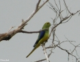 Parrot_Bluewinged_2008-11-03