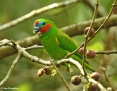 Parrot_Doubleeyed_Fig (Macleay's Fig Parrot)_2016-09-14