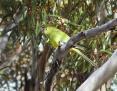 Parrot_Elegant_2014-04-18