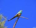 Parrot_Mulga_2011-09-30_1