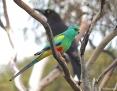 Parrot_Mulga_2013-05-21_1