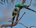 Parrot_Mulga_2014-08-30