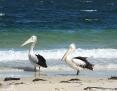 Pelican_Australian_2012-03-24