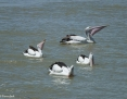 Pelican_Australian_2012-10-20