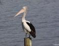 Pelican_Australian_2014-03-02_1