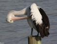 Pelican_Australian_2014-03-02_2