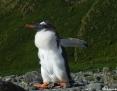 Penguin_Gentoo_2010-10-23