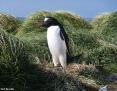 Penguin_Gentoo_2010-10-25_1