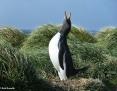Penguin_Gentoo_2010-10-25_2