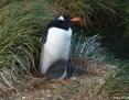 Penguin_Gentoo_2010-10-28