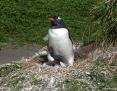 Penguin_Gentoo_2010-11-07_2