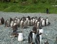 Penguin_Gentoo_2010-12-01