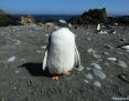 Penguin_Gentoo_2010-12-29
