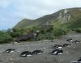 Penguin_Gentoo_2011-01-12