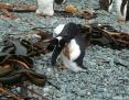 Penguin_Gentoo_2011-02-16