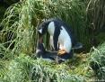 Penguin_Gentoo_2011-03-01_1