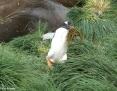 Penguin_Gentoo_2011-03-01_2
