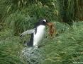 Penguin_Gentoo_2011-03-01_3
