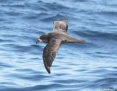 Petrel_Greatwinged_2011-01-16