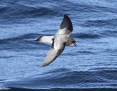 Petrel_Greybacked_Storm_2010-05-09