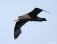 Petrel_Northern_Giant_2010-05-09