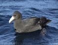 Petrel_Southern_Giant_2010-05-09