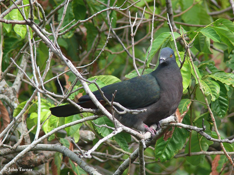 Pigeon_Christmas_Imperial_2007-11-30_4