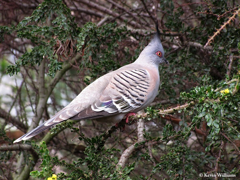 Pigeon_Crested_2009-09-28