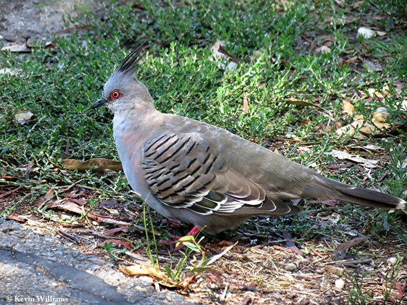 Pigeon_Crested_2012-03-19