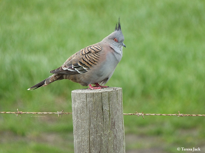 Pigeon_Crested_2012-09-08