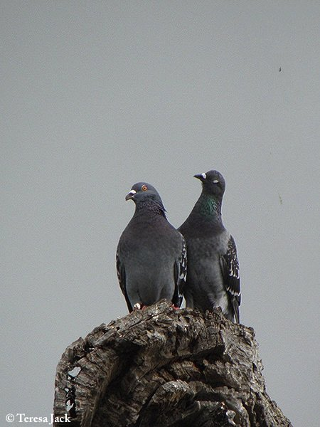 Pigeon_Feral_2011-09-10