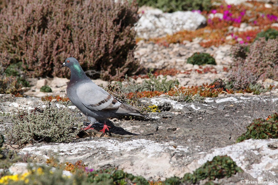 Pigeon_Feral_2016-09-08_2