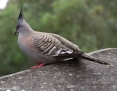 Pigeon_Crested_2010-09-02