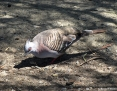 Pigeon_Crested_2011-03-05