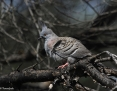 Pigeon_Crested_2013-09-18_1