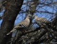 Pigeon_Crested_2013-09-18_2