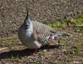 Pigeon_Crested_2014-08-17
