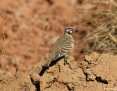 Pigeon_Spinifex_2016-07-16