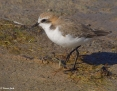Plover_Redcapped_2011-01-22