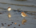 Plover_Redcapped_2011-05-11