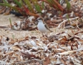 Plover_Redcapped_2012-12-05